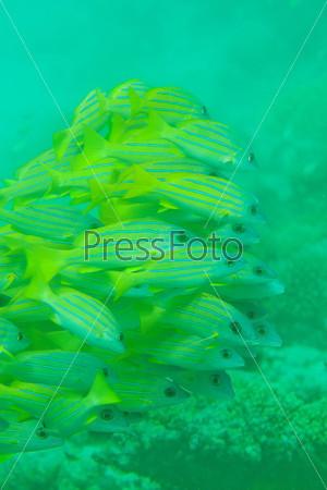 Фотография на тему Рыба луциан на мелководье