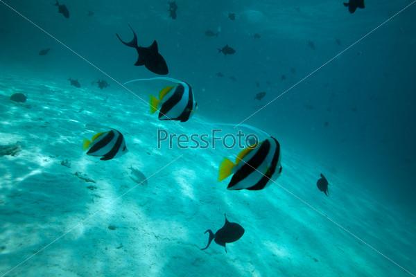 Рыба мавританский идол