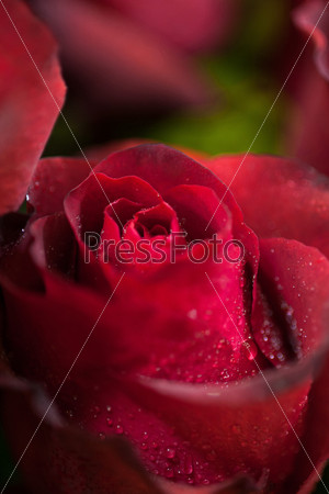 Фотография на тему Красная роза
