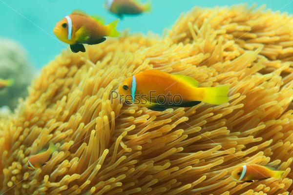 Фотография на тему Красивые рыбы-клоуны