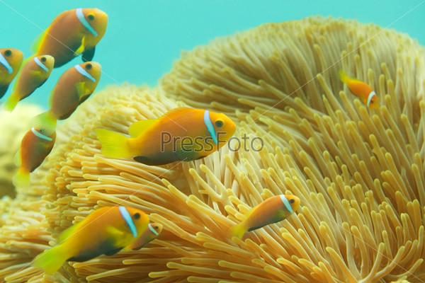 Мальдивские рыбы-клоуны