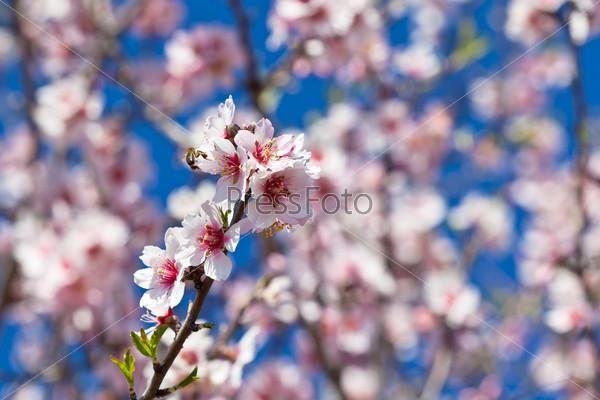 Ветки цветущего персикового дерева на фоне голубого неба