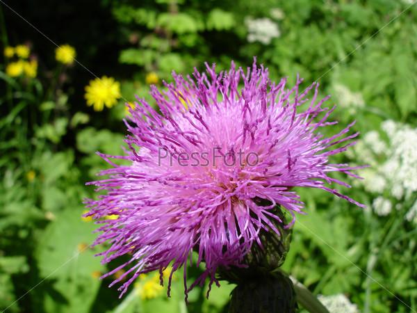 Цветок репейника