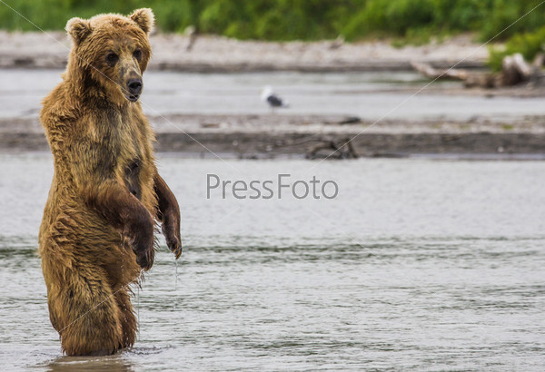 Бурый медведь рыбачит