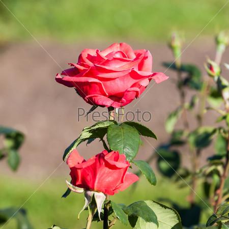Фотография на тему Красная роза в саду
