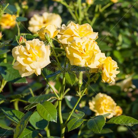 Желтые розы в саду