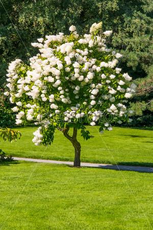 Фотография на тему Цветущее дерево в саду