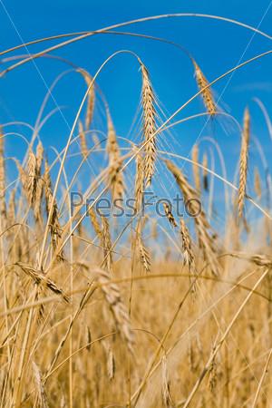 Фотография на тему Поле пшеницы