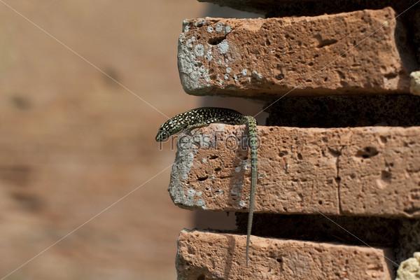 Фотография на тему Ящерица на кирпиче в стене