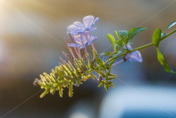 Цветок плюща на размытом фоне