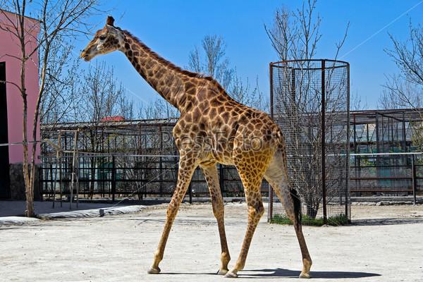 Фотография на тему Жираф в сафари-парке Тайган. Крым, Белогорск