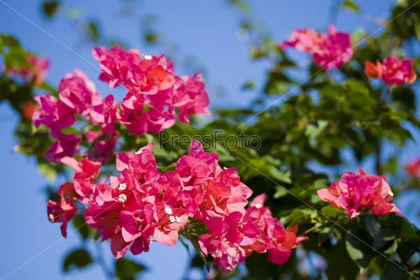 Красивые розовые цветки бугенвиль