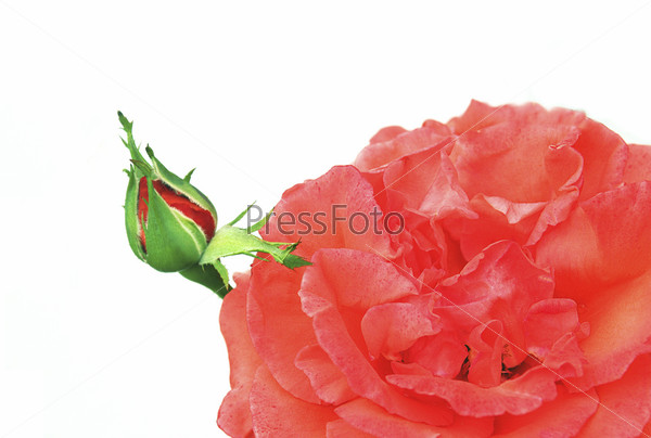 Фотография на тему Бутон красной розы