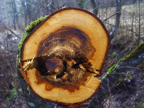 Фотография на тему Спиленное дерево