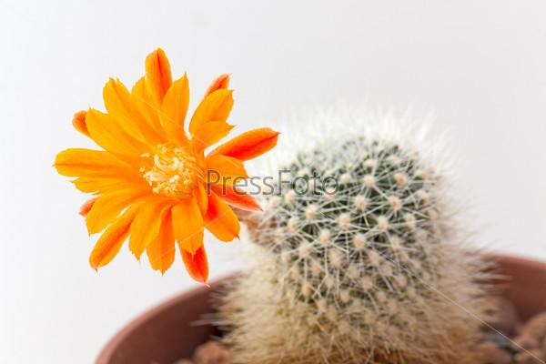 Фотография на тему Цветок кактуса