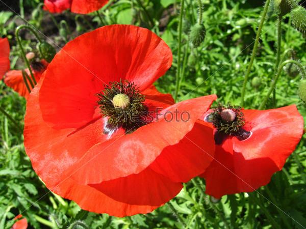 Фотография на тему Красивый цветок красного мака