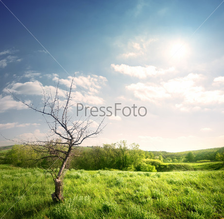 Старое сухое дерево