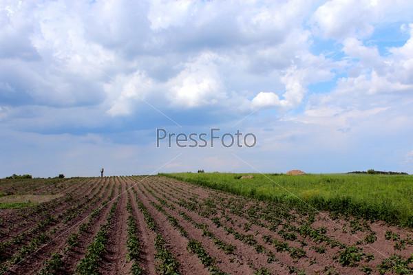 Огород с проросшим картофелем