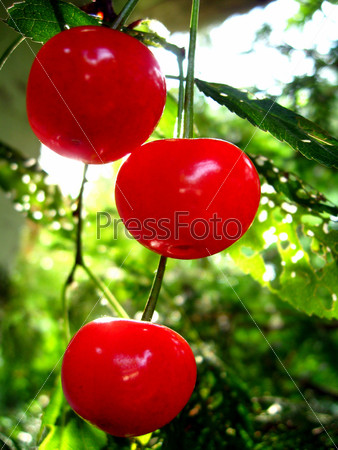 Красная ягода спелой вишни висит на ветке