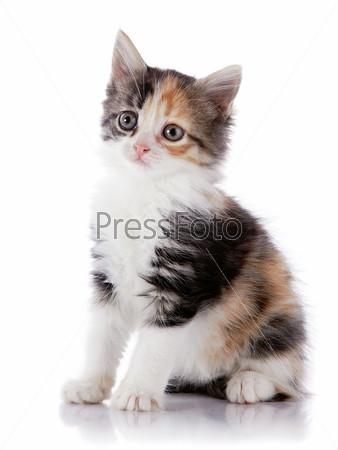 Фотография на тему Разноцветный котенок на белом фоне