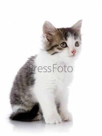 Серый с белым котенок