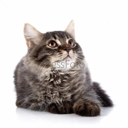 Фотография на тему Пушистый кот с карими глазами