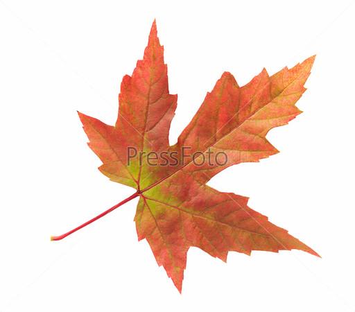 Кленовый лист, изолированный на белом фоне