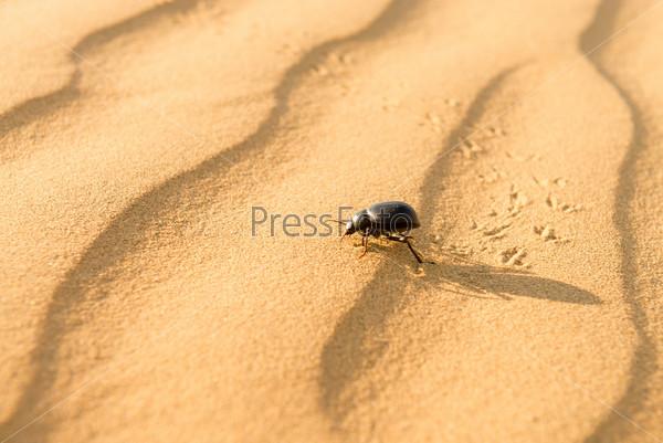 Скарабей на песчаных дюнах в пустыне