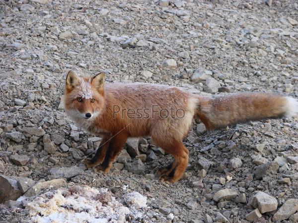 Фотография на тему Рыжая лиса