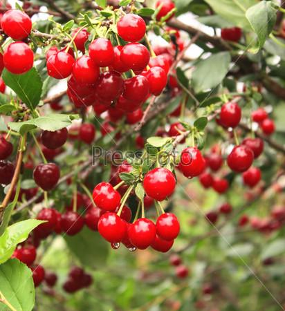 Фотография на тему Урожай вишни