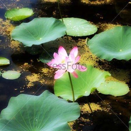 Красивые цветы Nelumbo nucifera на поверхности воды