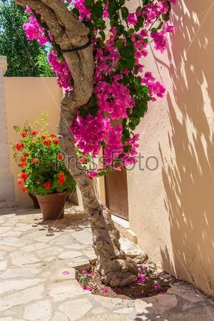 Розовые бугенвиллеи на улице, Крит, Греция