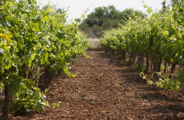 Фотография на тему Зеленый виноградник