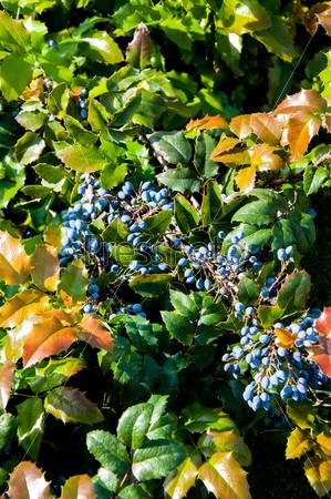 Магония падуболистная, вечнозеленые кустарники, род магония