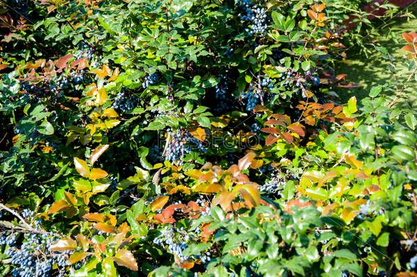 Фотография на тему Вечнозеленый кустарник магония падуболистная, род магония