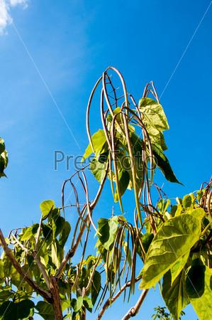Фотография на тему Катальпа, род растений семейства барбарисовые