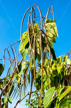 Катальпа, род растений семейства барбарисовые