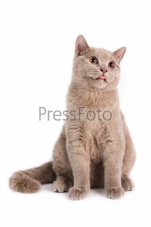 Фотография на тему Британская короткошерстная кошка
