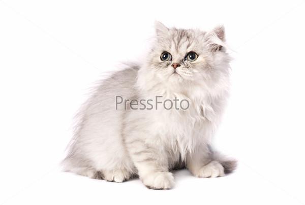 Фотография на тему Персидский котенок