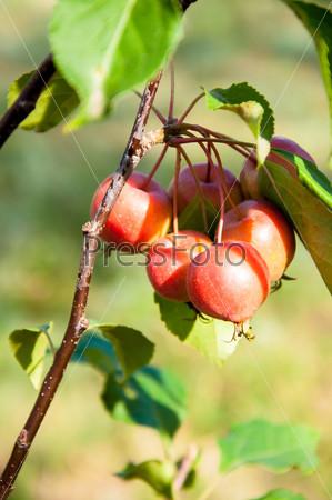 """Яблоня сорта """"Красный обелиск"""""""