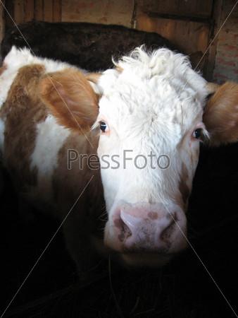 Коричнево-белая корова на ферме