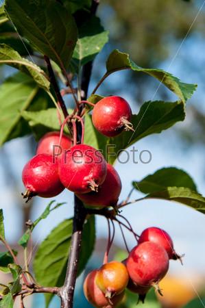 """Фотография на тему Яблоня сорта """"Красный обелиск"""""""