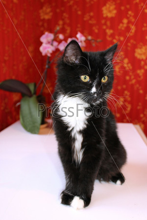 Фотография на тему Черный кот в комнате с красными обоями