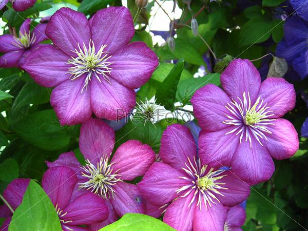 Фотография на тему Сиреневые цветы клематис