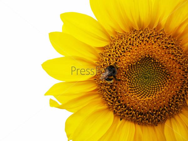 Подсолнечник с пчелой в фокусе на белом фоне
