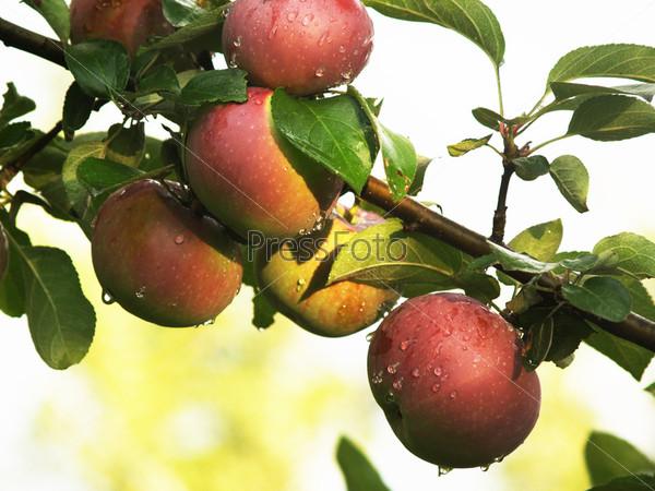 Спелые красные яблоки на ветке с зелеными листьями после дождя