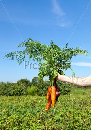 Рука держит свежие морковь и свеклу на фоне зеленого поля