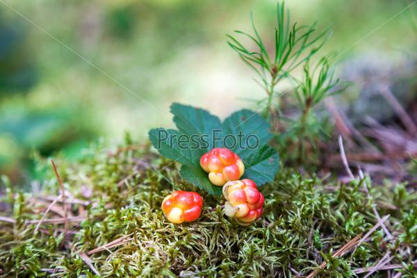 Морошка крупным планом в летнее время. Свежие дикие фрукты