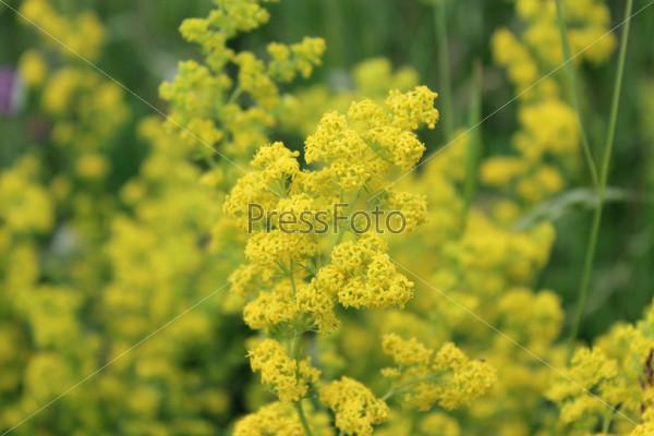 Желтые цветы подмаренника