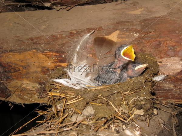 Гнездо ласточки с птенцами